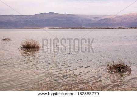 Dead grass near the shore of the dead sea Israel