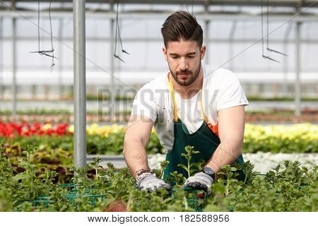 happy male nursery worker trimming plants in greenhouse