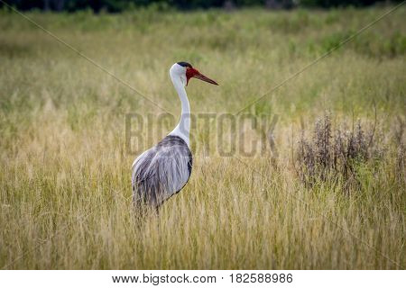 Wattled Crane In High Grass.