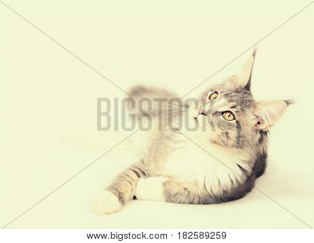 Portrait of kitten Maine coon looking up on light background