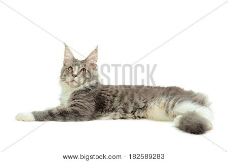 Portrait of kitten Maine coon looking up on white background