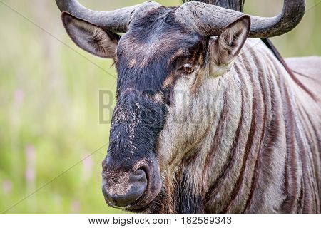 Close Up Of A Blue Wildebeest.