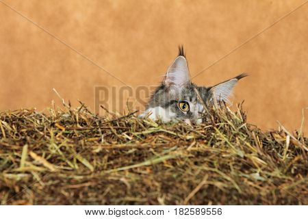 Kitten of Maine coon hiding behind haystack with brown background