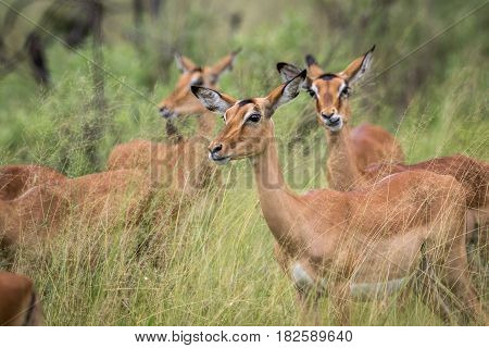 Herd Of Impalas In The Grass.