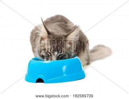 Kitten of Maine coon eating from his plate on white background