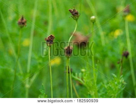 yellow flowers wither and change to brown color in green garden