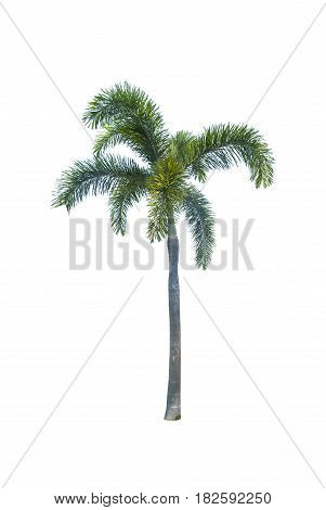 Coconut or palm tree , an asian trees isolate on white background