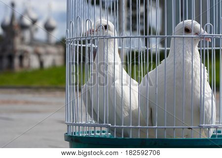White doves for a wedding in a birdcage, white bird in a cage.