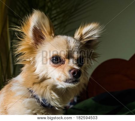 Happy Chihuahua canine cheerful domestic happiness barking carnivore cut happily pedigree pup puppy small tiny wink young