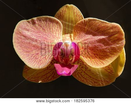 Closeup on an orange orchid with marsala red stripes and central petal