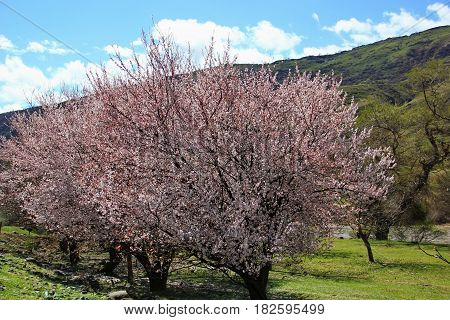 Overlooking the mountains, through flowering trees, pink flowers plum