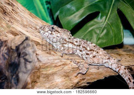 agama lizard sitting on a tree branch