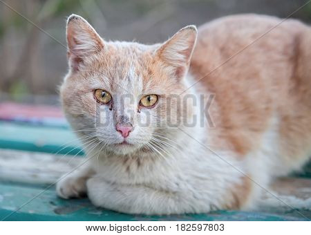 Homeless ginger cat with sad eyes sitting on a wooden surface and looking at the camera