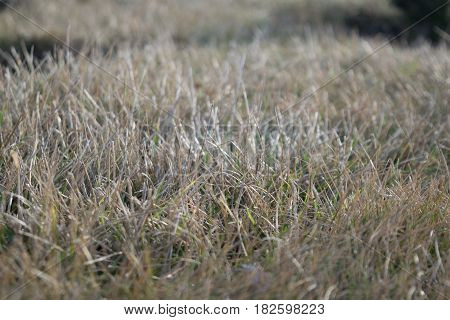Background of a shaved lawn in grayish colors in early spring on a sunny day