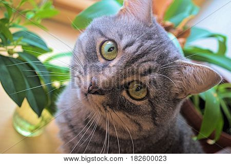 милый домашний зеленоглазый серый котик любит фотографироваться