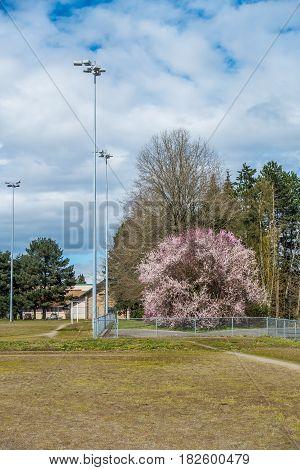 Tall field lights rise up near a Cherry tree in Seatac Washington.