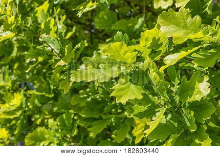 Green oak tree leaves with natural light