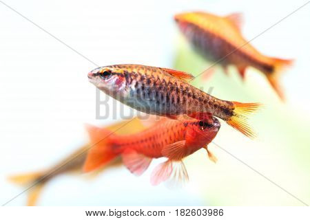 Group beautiful aquarium fishes red orange color. Cherry barb fishes macro nature concept. shallow depth of field, selective focus photo