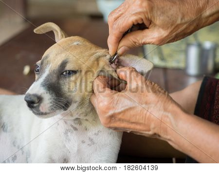 Old woman's hand cleaning dog ticks in ears of dog