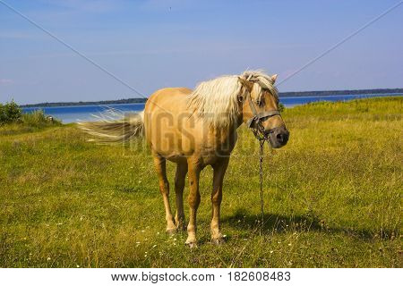 Light brown horse with a white mane stands on meadow near blue lake. Palomino horse in field