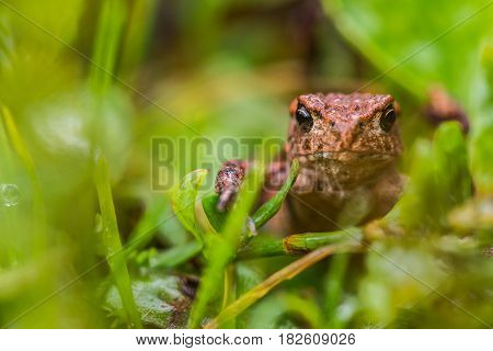 Small but angry frog in green meadow