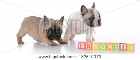 two adorable french bulldog puppies with work frenchie