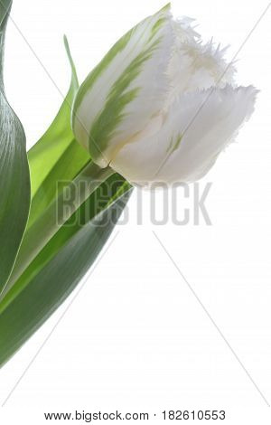 Spring white Tulip against white Background closeup