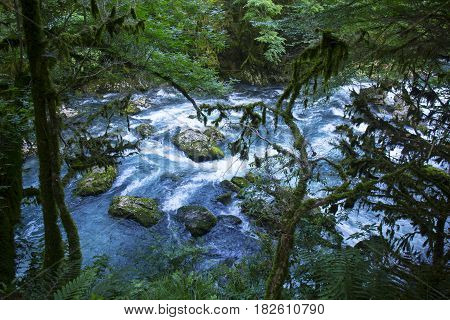 Wild forest with mountain river and boxwood tree