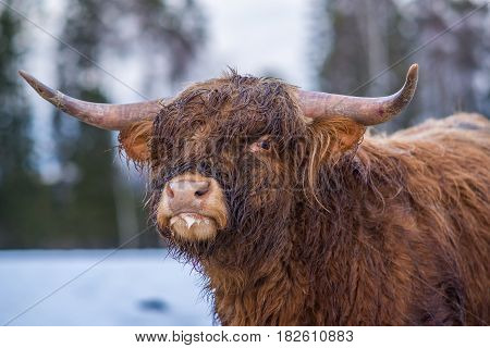 Single Highland cow staring in winter landscape