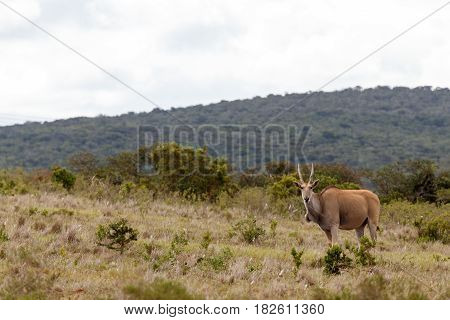 Eland Standing And Watching You