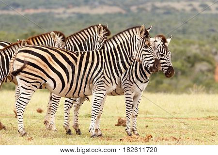 Zebras Standing Close To Each Other