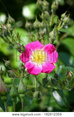 Rose flower in front of green leaves