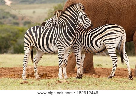 Zebras Rubbing Each Others Backs