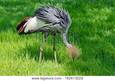 Picture of the  Crowned Crane on green blur background