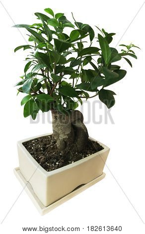 bonsai in a white pot in the restaurant