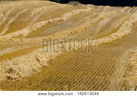 Picture of the compressed band on wheat field