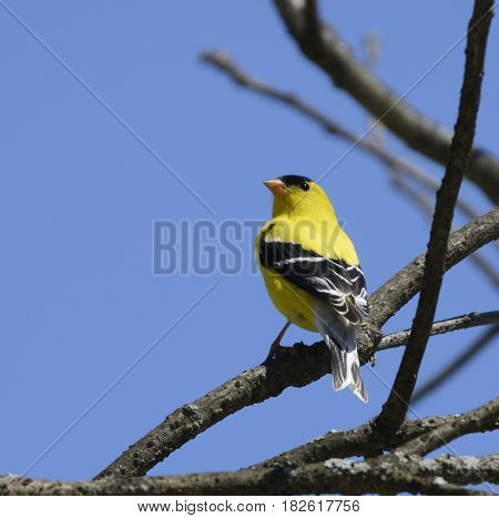 A male American Goldfinch (Spinus tristis) in breeding plumage sits on a tree branch in Sussex County NJ USA.