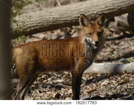 A Red Fox (Vulpes vulpes) pauses and looks back to the camera as it moves through a forest in Sussex County NJ USA.