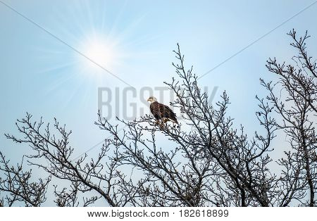 Bald Eagle perched in a tree basking in the sunrays in Spring.
