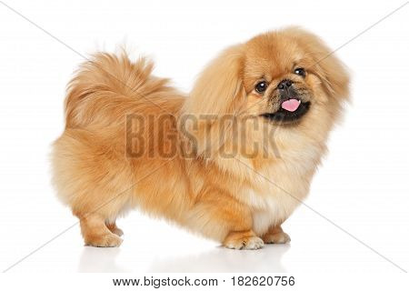 Pekingese Dog In Stand