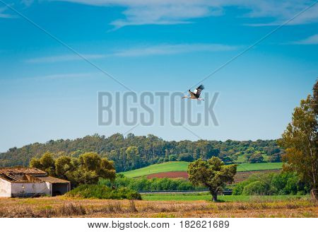 Stork flying over the dehesa of Extremadura Spain
