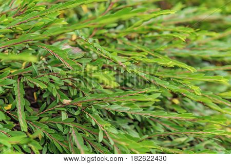 Close up of stem with small leaves. Tropical plants of Asia green hedge. Selective focus