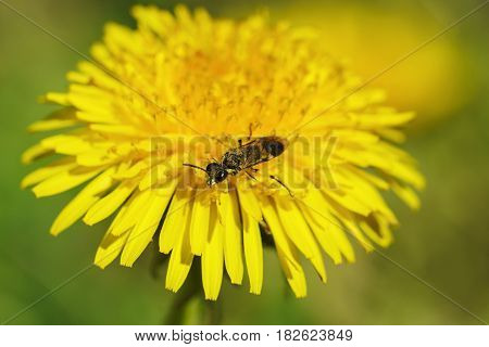 An insect of the order Hymenoptera in the bright yellow dandelion flower. Sunny day