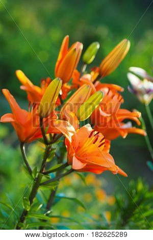 Closeup view of the orange daylily flowers in the garden against the blurred green background.