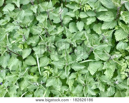 Green nettle leaves
