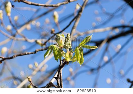 Blooming Chestnuts In The Sun. The Arrival Of Spring.