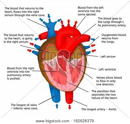 Heart of body in terms of animation structure isolated on a white background Vector Illustration. Anatomy, medicine, human organ that pumps blood, structure description.