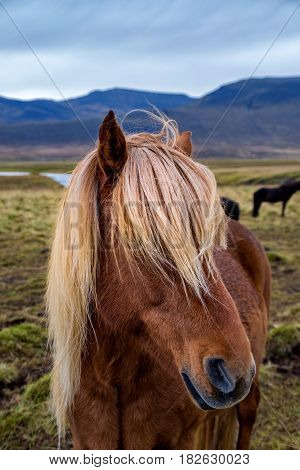 Typical Icelandic horse with long hair in Iceland