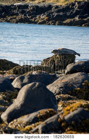 Seals resting in Ytri Tunga beach in Iceland