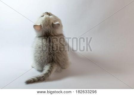 British Kitten White Chinchilla Looking Up, Rear View.
